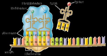 Метионин играет важнейшую функцию старта в процессах трансляции, необходимую для синтеза белковых молекул